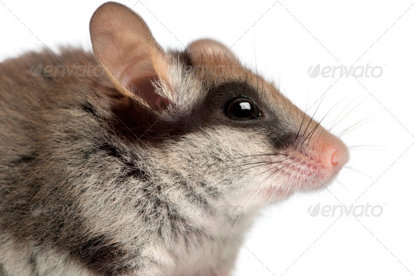 Garden Dormouse, Eliomys quercinus, 2 months old, in front of white background - Stock Photo - Images