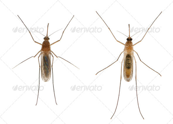 Common house mosquito - Culex pipiens - Stock Photo - Images