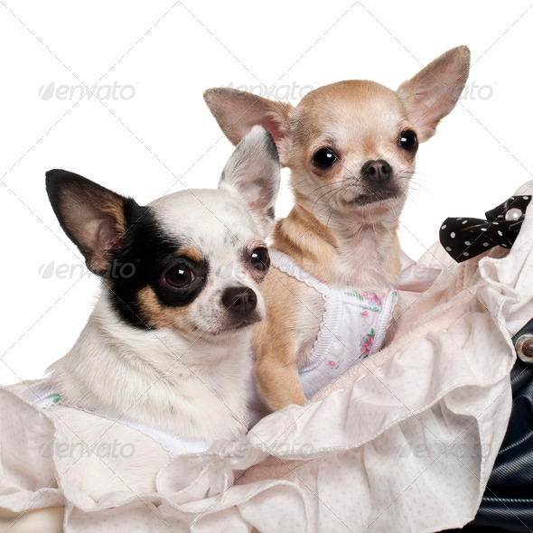 Close-up of Chihuahuas, 1 year old, in baby stroller in front of white background - Stock Photo - Images
