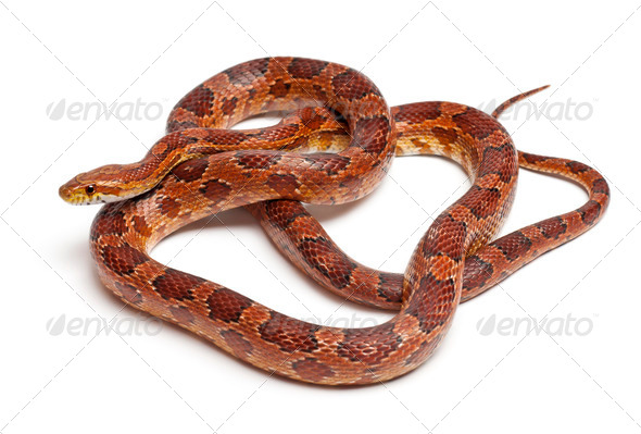 Classical Corn Snake or Red Rat Snake, Pantherophis guttatus, in front of white background - Stock Photo - Images