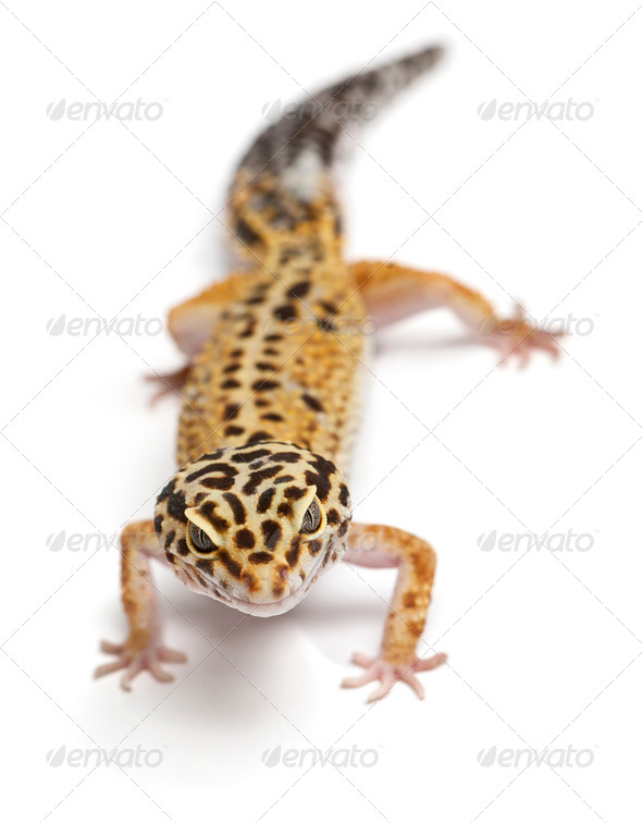 Tangerine Leopard gecko, Eublepharis macularius, in front of white background - Stock Photo - Images
