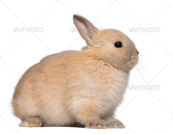 Young rabbit, sitting in front of white background - Stock Photo - Images