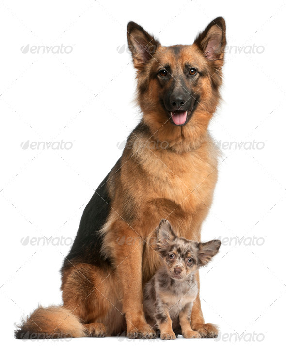 German shepherd, 3 years old, and Chihuahua, 4 months old, sitting in front of white background - Stock Photo - Images