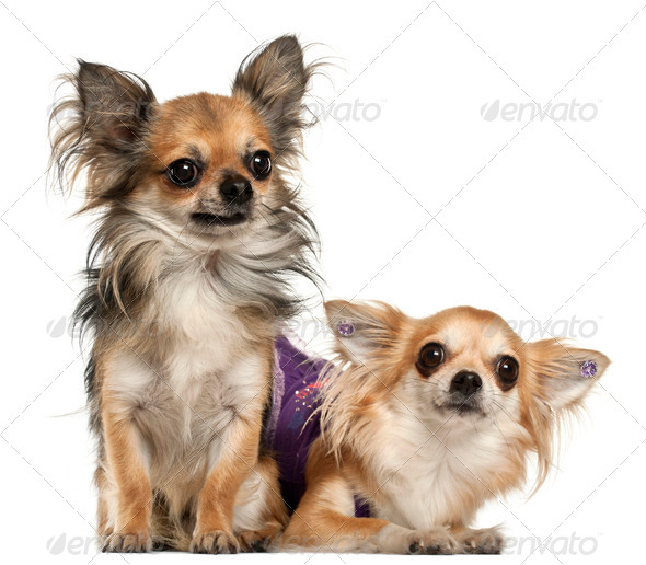 Chihuahuas, 3 years old, in front of white background - Stock Photo - Images