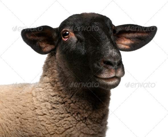 Female Suffolk sheep, Ovis aries, 2 years old, portrait in front of white background - Stock Photo - Images