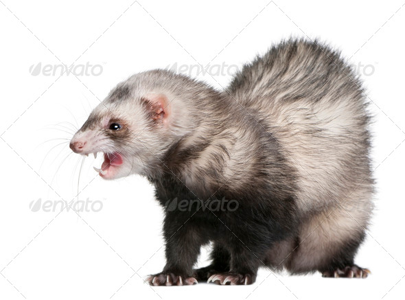 Ferret, Mustela putorius furo, 3 years old, in front of white background - Stock Photo - Images