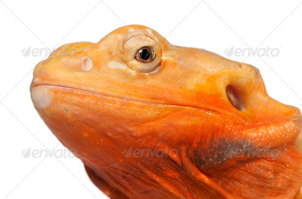 Close-up of Central Bearded Dragon, Pogona vitticeps, in front of white background - Stock Photo - Images