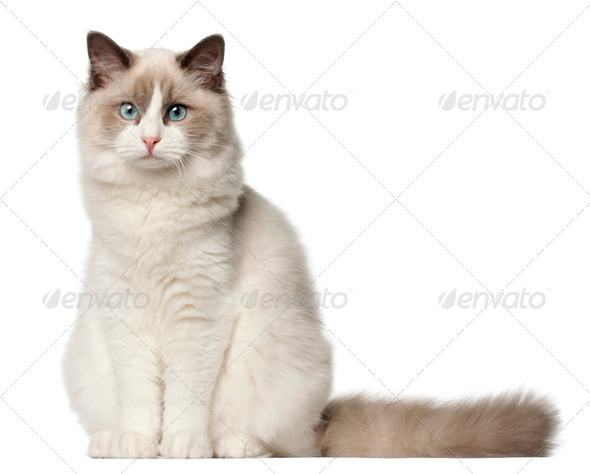 Ragdoll cat, 6 months old, sitting in front of white background - Stock Photo - Images