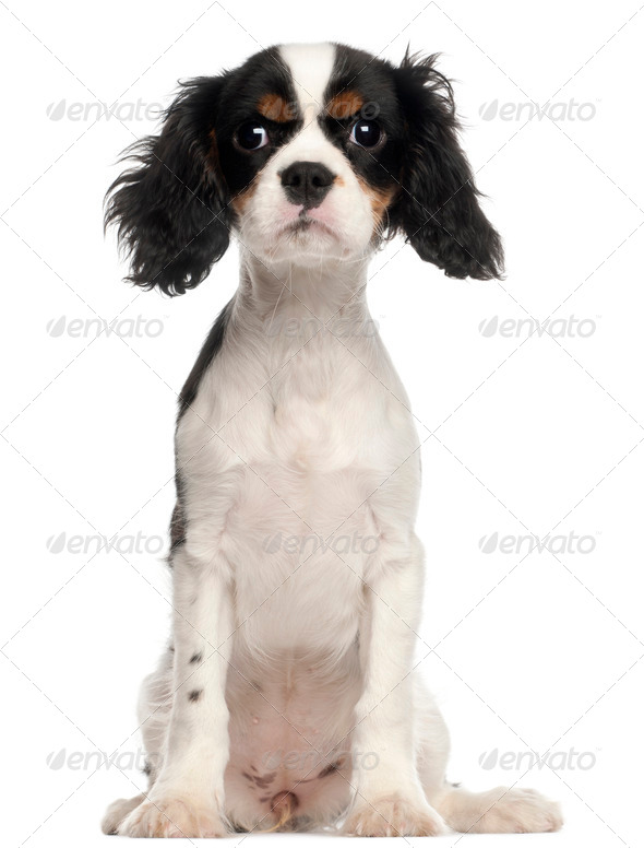 Cavalier King Charles Spaniel puppy sitting in front of white background - Stock Photo - Images