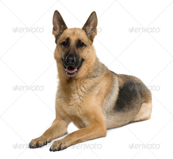 German Shepherd, 9 years old, sitting in front of white background, studio shot - Stock Photo - Images