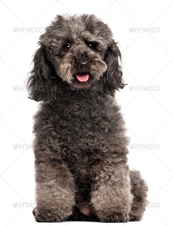 Poodle, 3 years old, sitting in front of white background - Stock Photo - Images