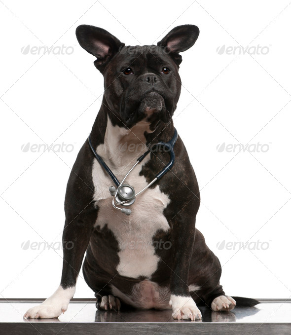 Crossbreed dog, wearing a stethoscope against a white background - Stock Photo - Images