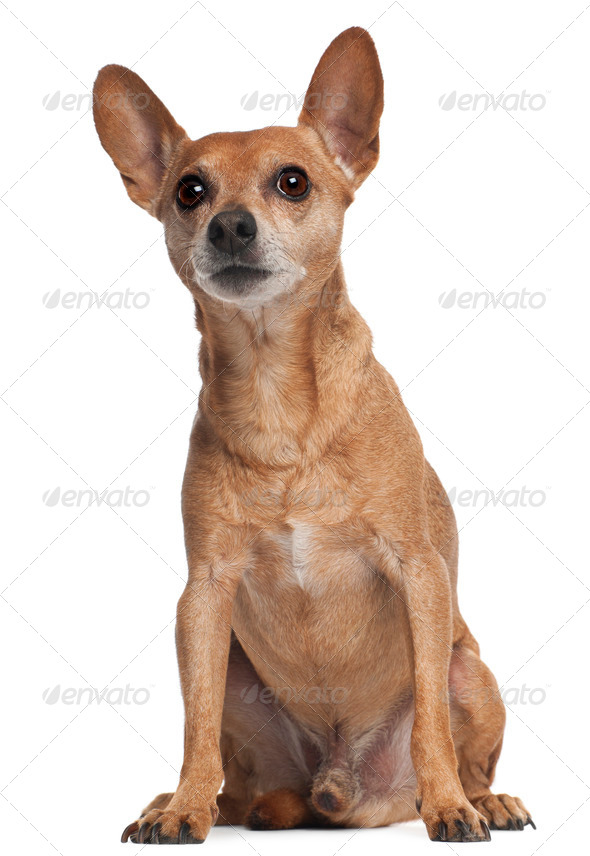 Miniature Pinscher sitting in front of white background - Stock Photo - Images