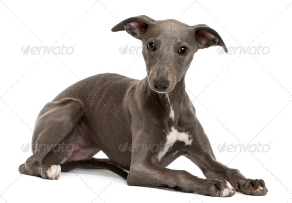 Whippet puppy, 6 months old, lying in front of white background - Stock Photo - Images
