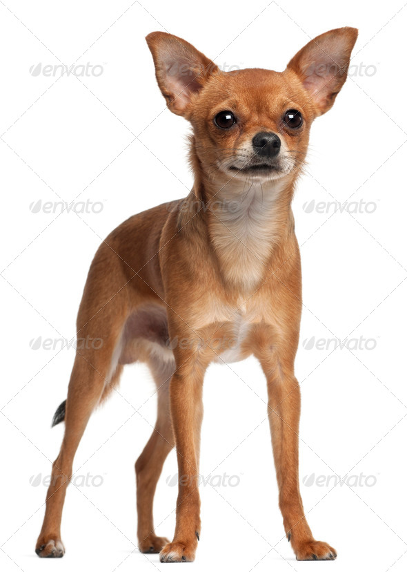Crossbreed dog standing in front of white background - Stock Photo - Images