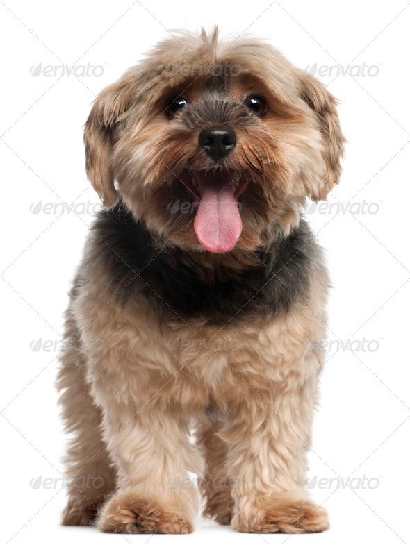 Yorkshire Terrier, 6 years old, sitting in front of white background - Stock Photo - Images