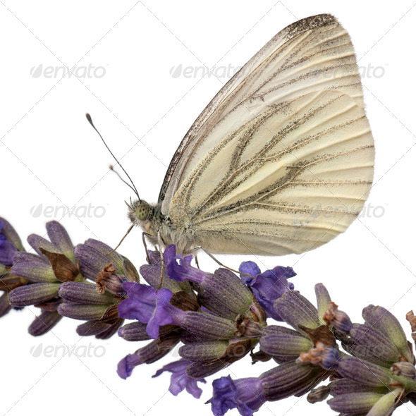 Green-veined White, Pieris napi, on flower in front of white background - Stock Photo - Images