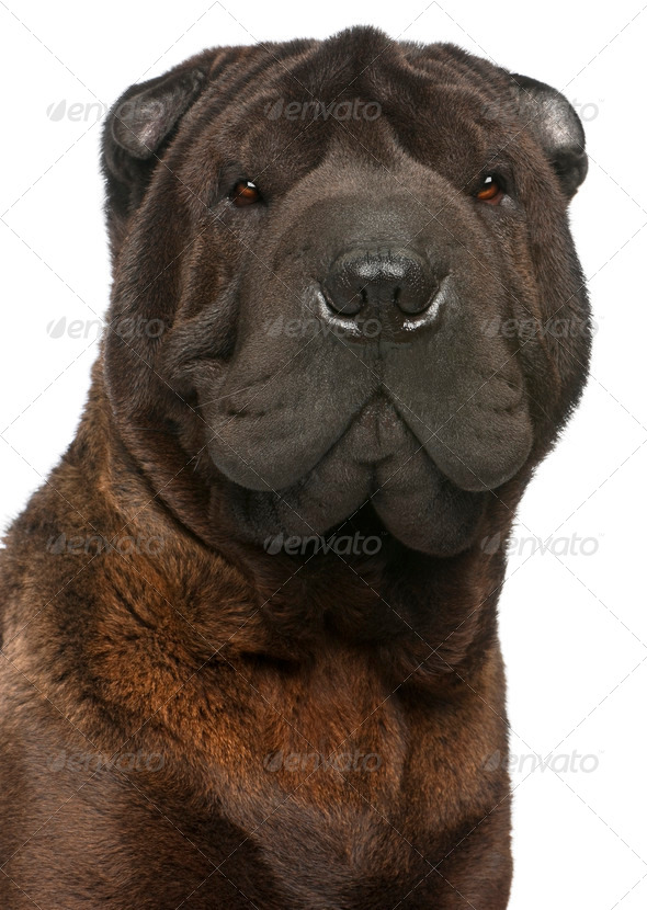 Close-up of Shar Pei, 11 months old, in front of white background - Stock Photo - Images