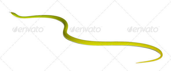 Eastern green mamba  - Dendroaspis angusticeps, poisonous, white background - Stock Photo - Images