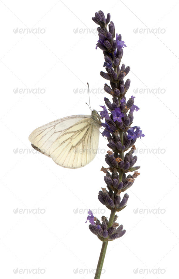 Green-veined White, Pieris napi, on purple flower in front of white background - Stock Photo - Images