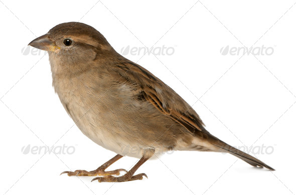 female House Sparrow - Passer domesticus (5 months old) - Stock Photo - Images
