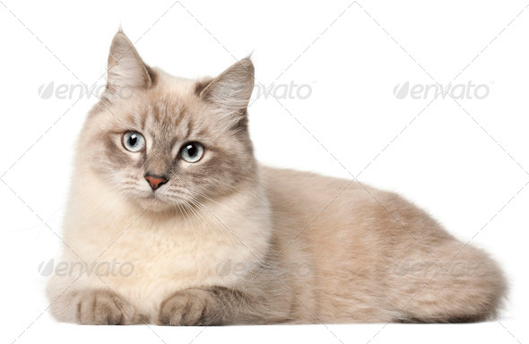 Siberian cat, in front of white background - Stock Photo - Images
