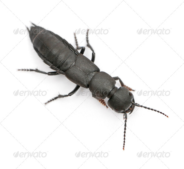 Devil's coach-horse beetle, Ocypus olens, in front of white background - Stock Photo - Images