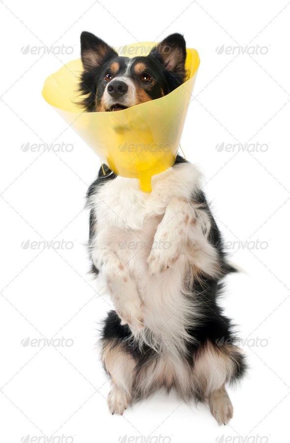 Border collie wearing a space collar on hind legs in front of white background - Stock Photo - Images