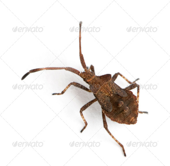 Dock bug, Coreus marginatus, in front of white background - Stock Photo - Images