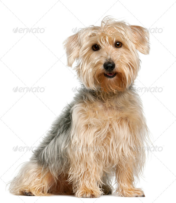 Yorkshire Terrier, sitting in front of white background - Stock Photo - Images