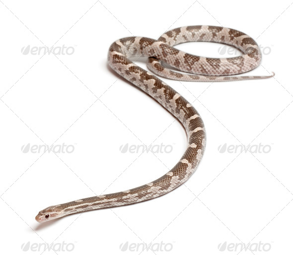 Lavender Corn Snake or Red Rat Snake, Pantherophis guttatus, in front of white background - Stock Photo - Images