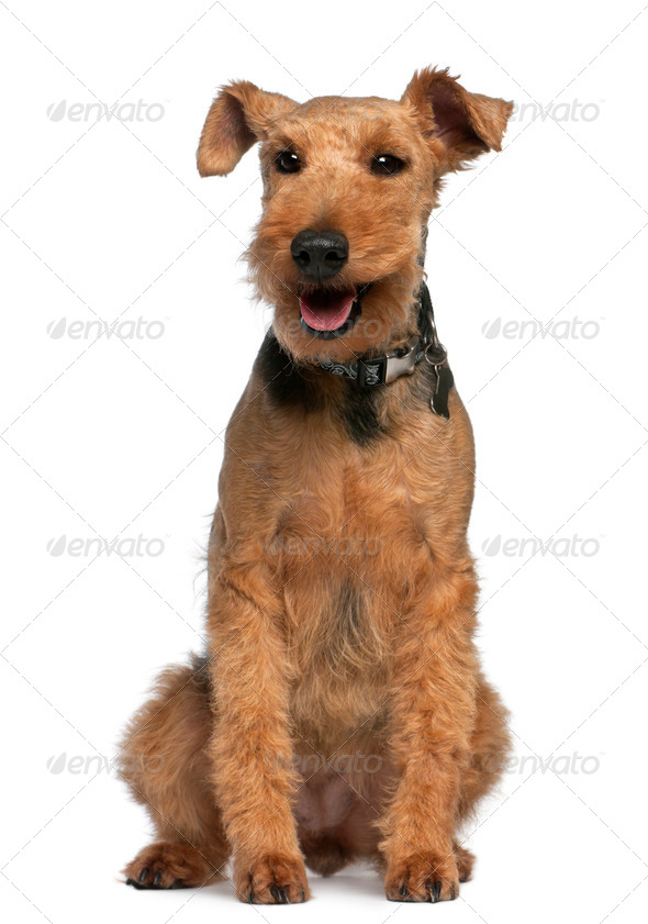 Welsh Terrier, 6 years old, sitting in front of white background - Stock Photo - Images