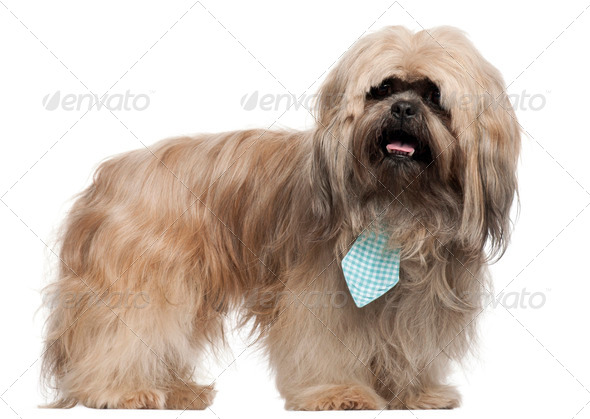 Lhasa Apso wearing a tie and standing in front of white background - Stock Photo - Images