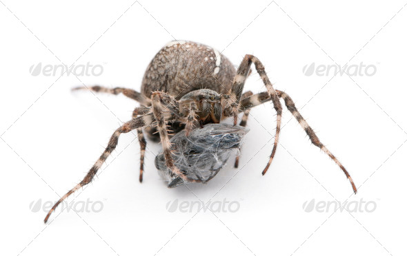 European garden spider, diadem spider, cross spider, or cross orbweaver, Araneus diadematus - Stock Photo - Images