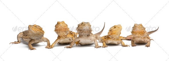 Central Bearded Dragons, Pogona vitticeps, in front of white background - Stock Photo - Images