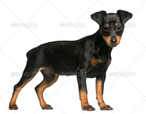 Miniature Pinscher puppy, 5 months old, standing in front of white background - Stock Photo - Images