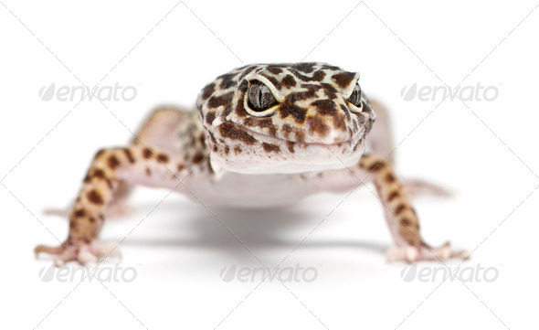 Leopard gecko, Eublepharis macularius, in front of white background - Stock Photo - Images
