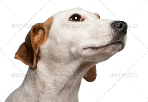 Close-up of Jack Russell Terrier, 16 months old, in front of white background - Stock Photo - Images