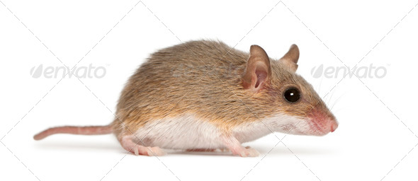 African Pygmy Mouse - Mus minutoides, the smallest of all rodents - Stock Photo - Images