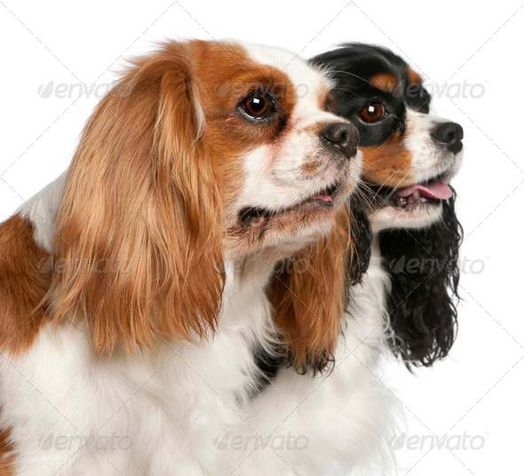 Close-up of Cavalier King Charles Spaniels, 2 and 3 years old, in front of white background - Stock Photo - Images
