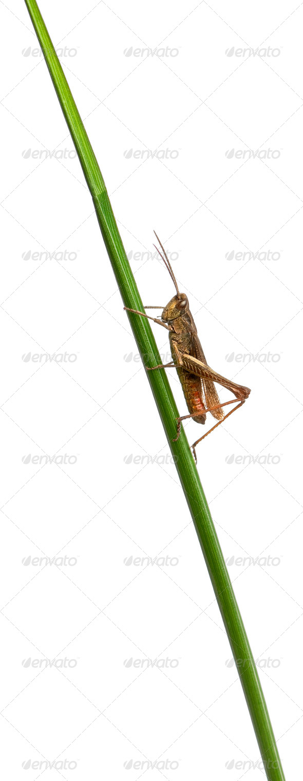 Grasshopper, Chorthippus montanus, on plant stem in front of white background - Stock Photo - Images