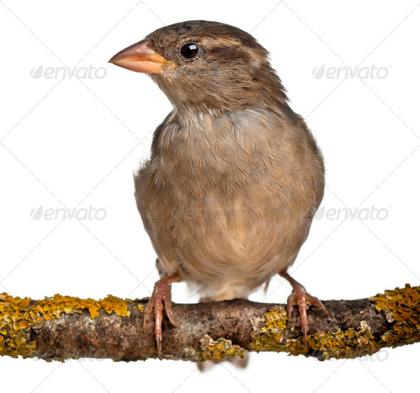 Female House Sparrow, Passer domesticus, 4 months old, in front of white background - Stock Photo - Images