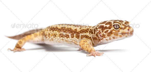 Albino Striped Leopard gecko, Eublepharis macularius, in front of white background - Stock Photo - Images