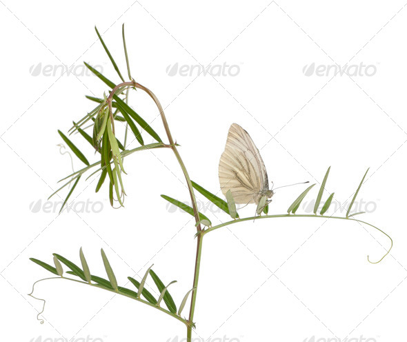 Green-veined White, Pieris napi, on plant in front of white background - Stock Photo - Images