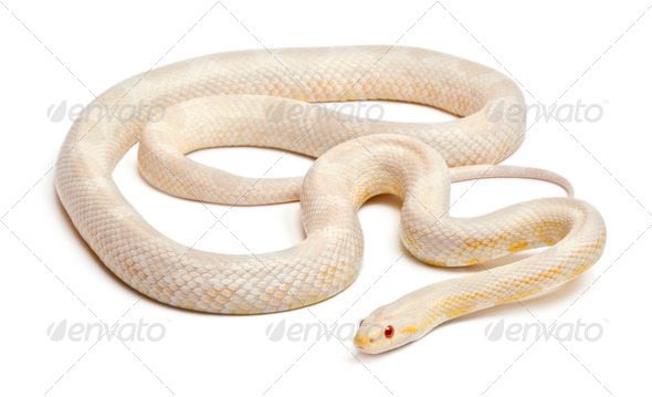 Snow Corn Snake or Red Rat Snake, Pantherophis guttatus, in front of white background - Stock Photo - Images