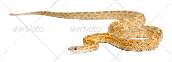 Pinstriped albino corn snake, Pantherophis guttatus, in front of white background - Stock Photo - Images