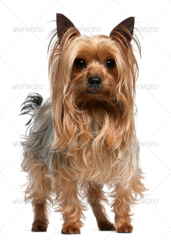 Yorkshire Terrier, 3 years old, standing in front of white background - Stock Photo - Images