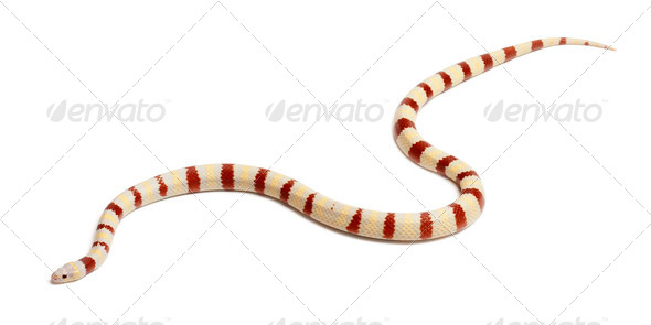 Albinos Kingsnake, Lampropeltis ruthveni, in front of white background - Stock Photo - Images