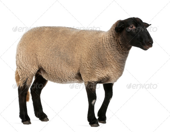 Female Suffolk sheep, Ovis aries, 2 years old, standing in front of white background - Stock Photo - Images