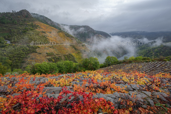 Reddish Colors in the Vineyards and Gray Clouds in the Autumn - Stock Photo - Images